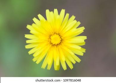Yellow flower Hieracium pilosella close-up