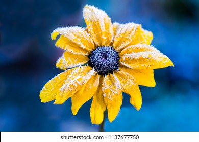 Yellow flower with hoarfrost. Black-eyed Susan or Coneflowers  in the autumn morning and royal blue background. Plant scientific name is Rudbeckia hirta and it genus in the sunflower family
