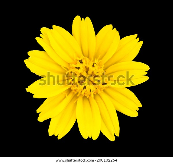 Yellow Flower Isolated On Black Background Stock Photo Edit Now 200102264