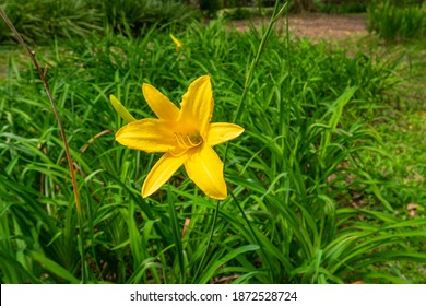 Yellow Flower know as Lemon Daylily, Lemon Lily, Yellow Daylily (Hemerocallis lilioasphodelus or Hemerocallis flava), in a Garden in Medellin, Colombia