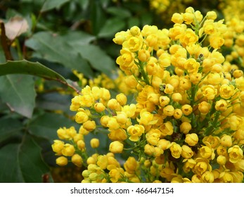 Yellow flower with leaves Magonia