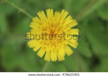 Yellow Flower Little Orange Center Stock Photo Edit Now 478625401
