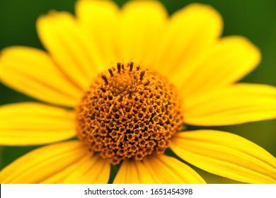 Makro. Nahaufnahme einer gelben Blume in einem Garten auf grünem Hintergrund. Sommerhintergrund.