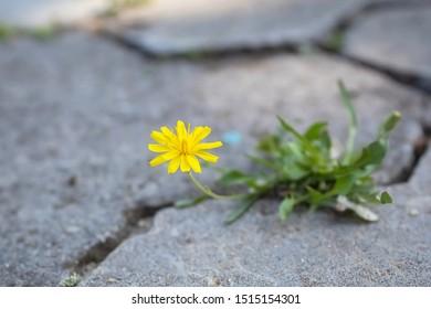 Yellow flower makes its way through the concrete. Cracks on asphalt