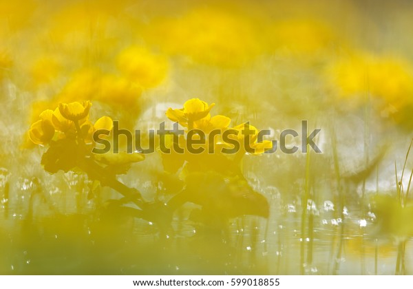 Yellow flower marigold in the water of the lake