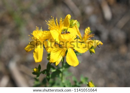 Yellow Flower Medicinal Herb St Johns Stock Photo Edit Now