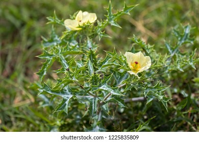 Yellow flower of Mexican prickly poppy, also called flowering thistle, cardo, growing at Serengeti National Park in Tanzania, East Africa (Argemone mexicana)