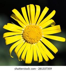 yellow flower on a dark background