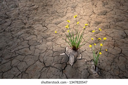 yellow flower on dried cracked soil , plant growing in desert drought concept
