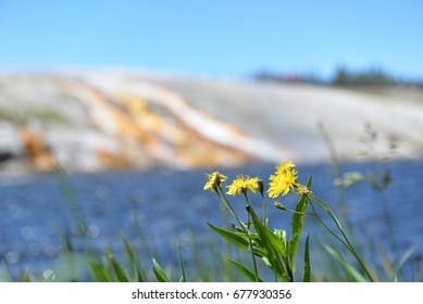 Yellow flower on the edge of a geothermal pool in Yellowstone Park.