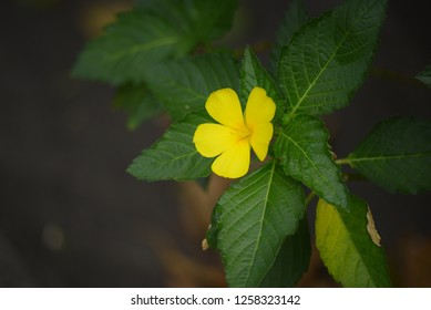 Yellow flower on green leaves, Damiana.