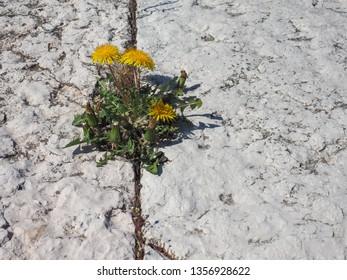 yellow flower of plant dandelion (Taraxacum officinale) aka Common dandelion growing between stone slabs