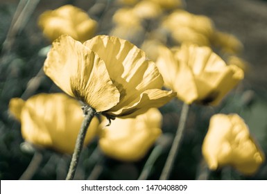 Yellow flower poppy blooming on background poppies flowers. Nature.
