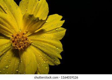 yellow flower with rain drop close up