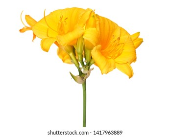 Yellow flower of Reblooming Daylily isolated on white background. Hemerocallis Stella de Oro