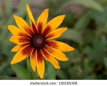 Yellow flower of Rudbeckia closeup