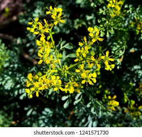 Yellow flower seeds of Ruta graveolens,  rue, common rue or herb-of-grace, is a species of Ruta grown as an ornamental plant herb used in  traditional flavouring in Greece and Mediterranean countries.