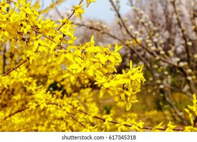 Spring yellow flowers korean forsythia blurred stock photo edit now yellow flower shrub on natural background mightylinksfo