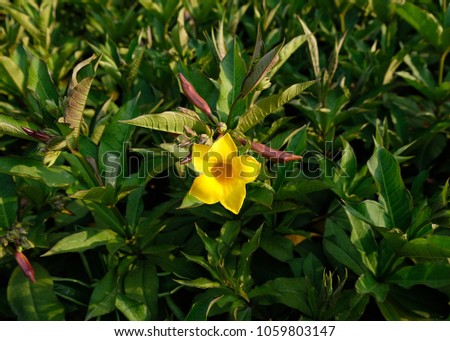 Yellow flower shrubs allamanda shrub trumpet stock photo edit now yellow flower in shrubs allamanda shrub trumpet flower mightylinksfo
