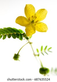 Yellow flower of small caltrops weed, isolated flower on white background