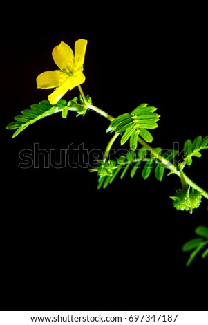 Yellow flower small caltrops weed isolated stock photo edit now yellow flower of small caltrops weed isolated on black background mightylinksfo