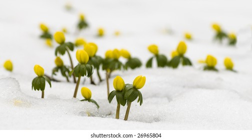 Yellow flower in the snow