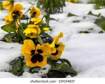 Yellow flower in the snow growing in a hostile environment
