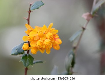yellow flower from south America