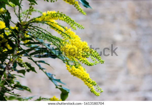 Yellow flower spikes on a Mahonia Japonica bush creating winter colour