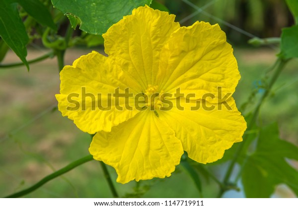 Yellow flower of Sponge gourd, Smooth loofah, Vegetable sponge, Gourd towel (Luffa cylindrica Roem) in the vegetable garden