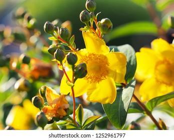 Yellow flower St. John's wort shrub Hidcote, Hypericum patulum Hidcote. Flower in the bright sunset, tutsan. Backlight.