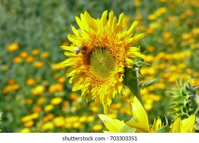 Dashags portfolio on shutterstock yellow flower of a sunflower against the background of a flowering garden the latin mightylinksfo Images