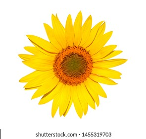 Yellow flower of sunflower isolated on white background