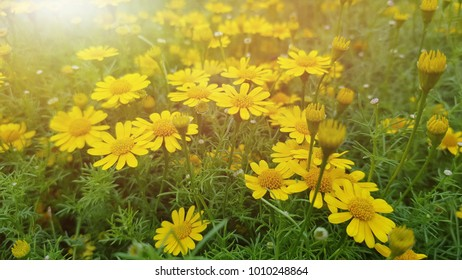 Yellow flower with sunlight in the morning