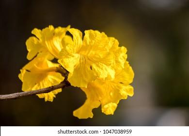 yellow flower (Tabebuia)