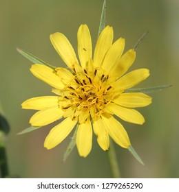 Yellow flower of Tragopogon pratensis or meadow salsify, Belarus