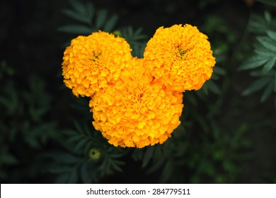 Yellow flower which isolated shape like a mickey mouse.