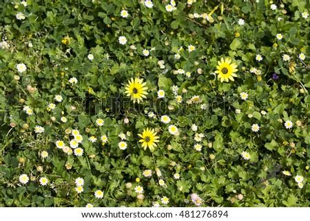 Yellow flowered cape weed dandelion tiny stock photo edit now yellow flowered cape weed dandelion with tiny white tiny cotula turbinata funnel weed flowers mightylinksfo
