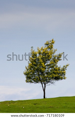 Yellow Flowering Acacia Tree Against Blue Stock Photo Edit Now