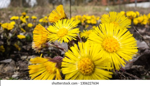 Yellow flowering coltsfoot plant in spring