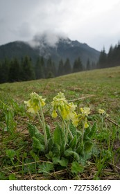 Yellow flowering Cowslip (Primula veris) on the meadow in Mala Fatra mountains, Slovakia