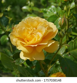 Yellow Flowering English Rose Named Absolutely Fabulous