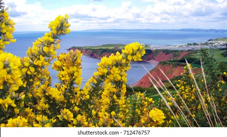 Yellow flowering Gorse bush.  sights along coastal paths near sandy bay, Exmouth, Devon