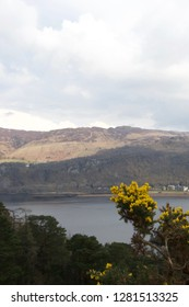Yellow flowering gorse in the foreground, lake Derwent Water (Lake District, Cumbria) and mountains in the background on a grey spring day