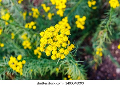 Yellow flowering grass in summer. Flowers of Galatella linosyris ( goldilocks aster, Aster linosyris, Crinitaria linosyris, Galatella Species ) . This plant is attractive to bees, butterflies