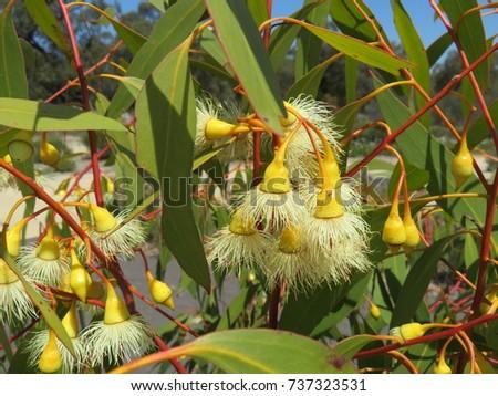 Yellow flowering gum eucalyptus australian native stock photo edit yellow flowering gum or eucalyptus australian native plant mightylinksfo