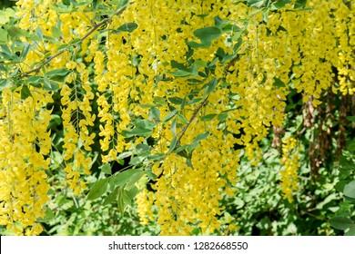 Yellow flowering laburnum in spring