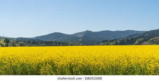 Yellow Flowering Mustard Field Mountains and Sky Panoramic