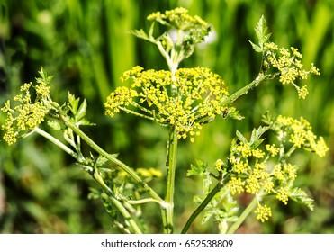 Yellow flowering parsnip, similar to parsley root (Pastinaca sativa)