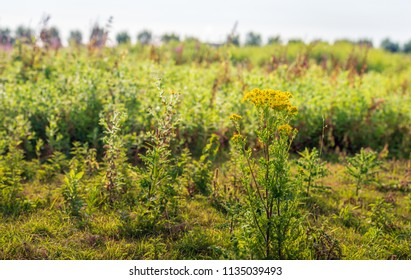 Yellow flowering Ragwort or Jacobaea vulgaris plant in the foreground of its blurred natural habitat in a Dutch nature reserve. It is early in the morning of a sunny day in the summer season now.